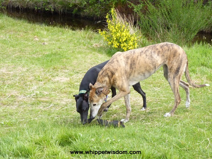 greyhound and whippet sniffing grass