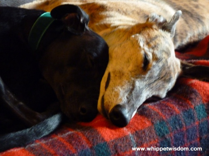 greyhound and whippet snuggled up