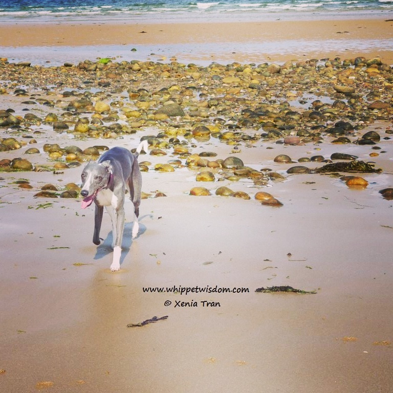 blue whippet on beach