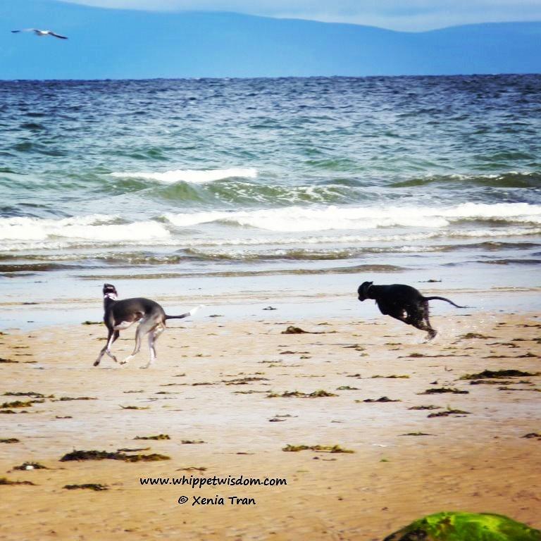 black whippet chasing blue whippet on beach