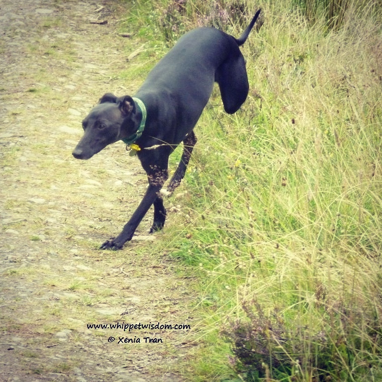 black whippet leaping from grass