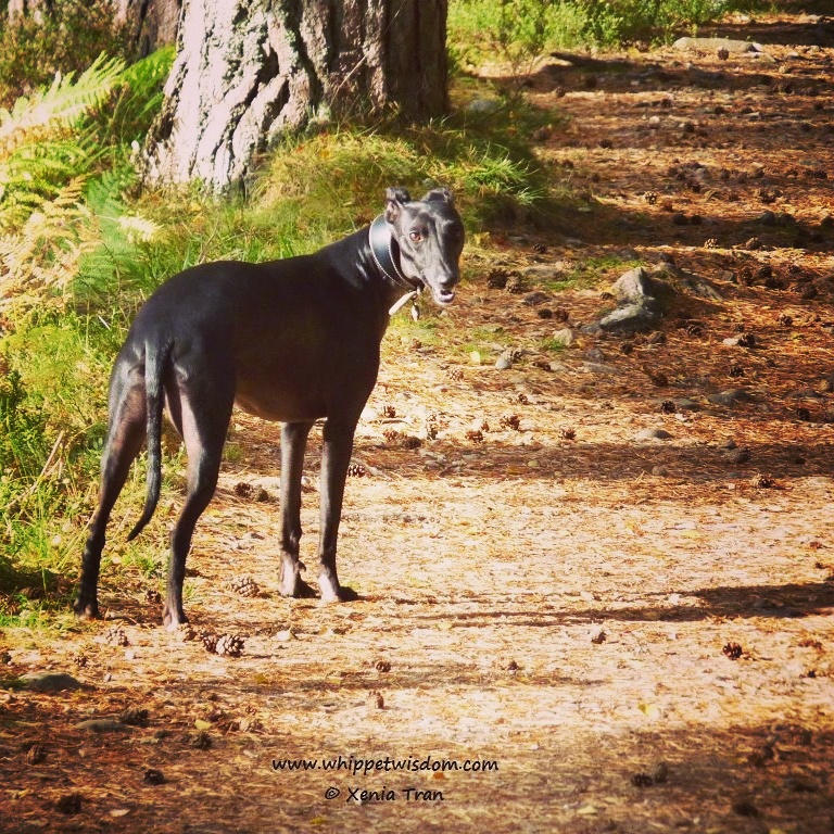 whippet in forest
