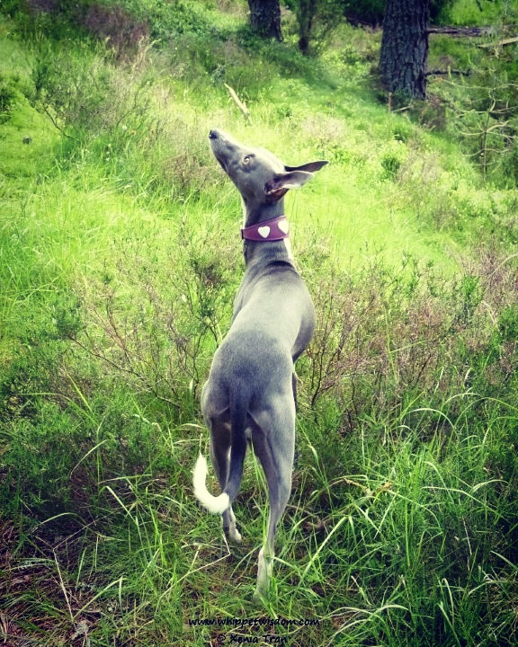 blue whippet in forest
