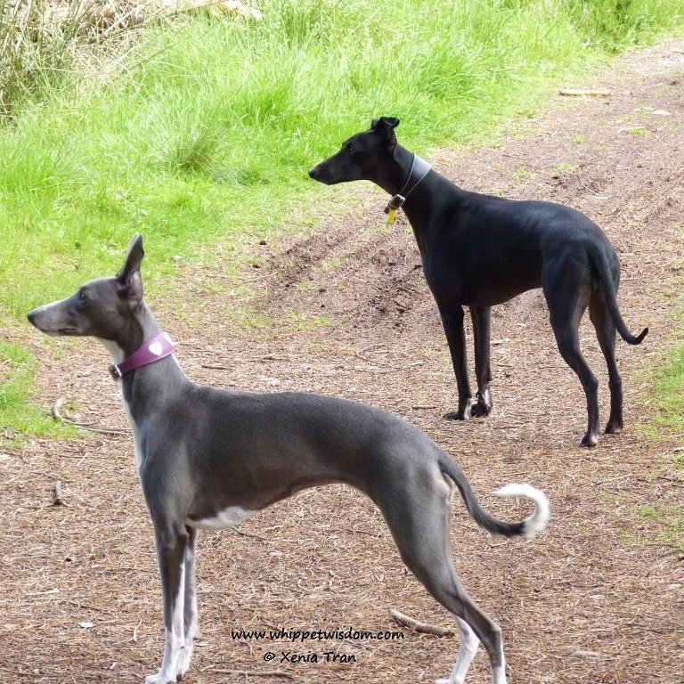 blue and black whippets on path