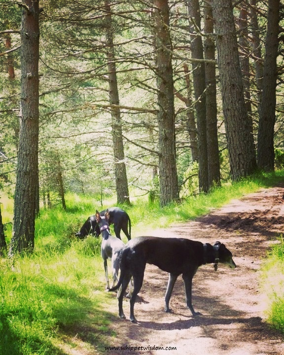 lurcher and two whippets in forest