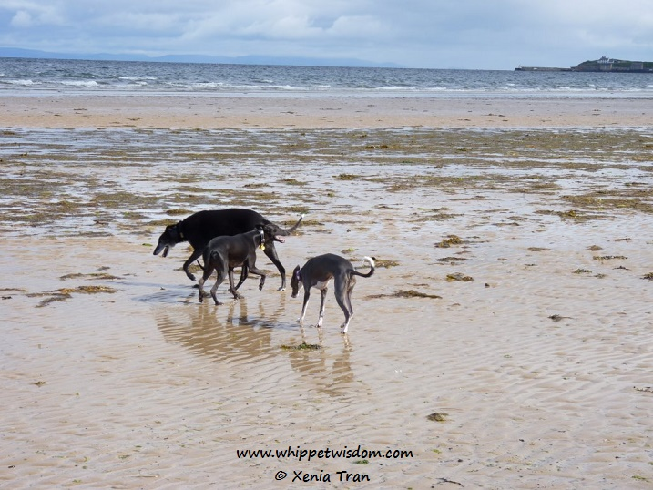 lurcher and two whippets on beach