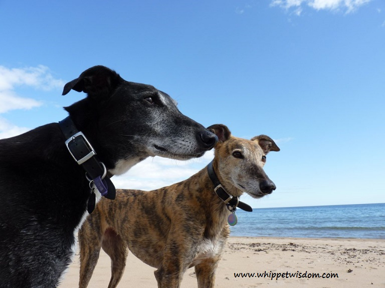 lurcher and greyhound on beach