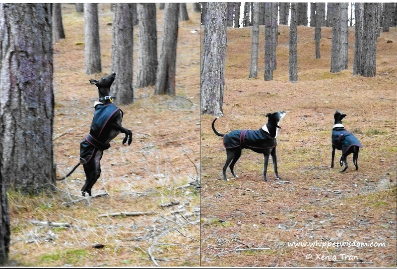 whippet leaping up and whippet and lurcher looking up in forest