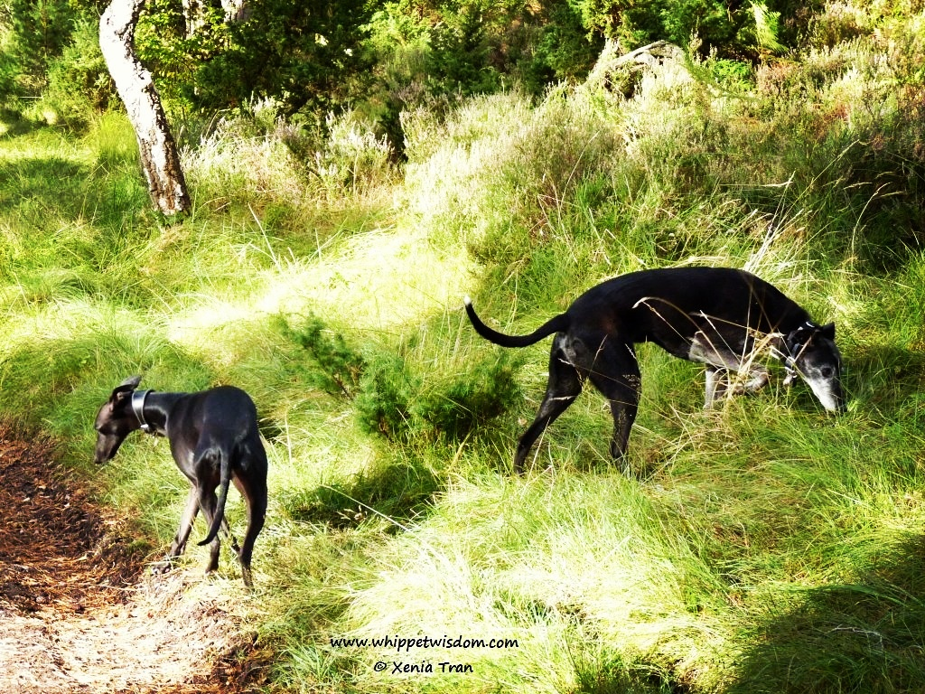 black lurcher and black whippet in forest