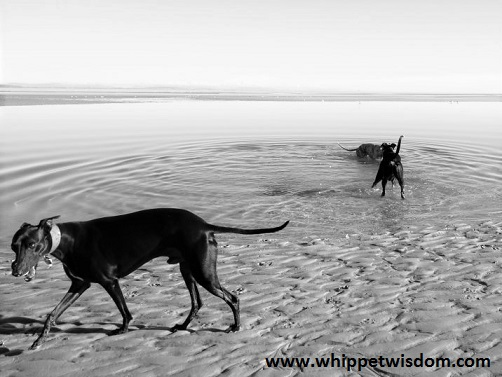 lurcher and greyhound playing in lagoon and whippet walking on sand.