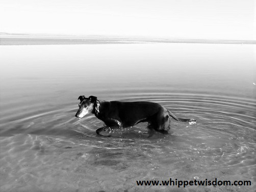 lurcher in lagoon at whippetwisdom.com