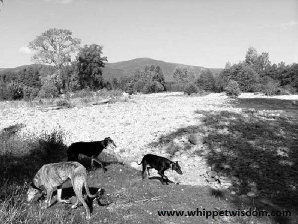 greyhound, lurcher and whippet by river at whippetwisdom.com