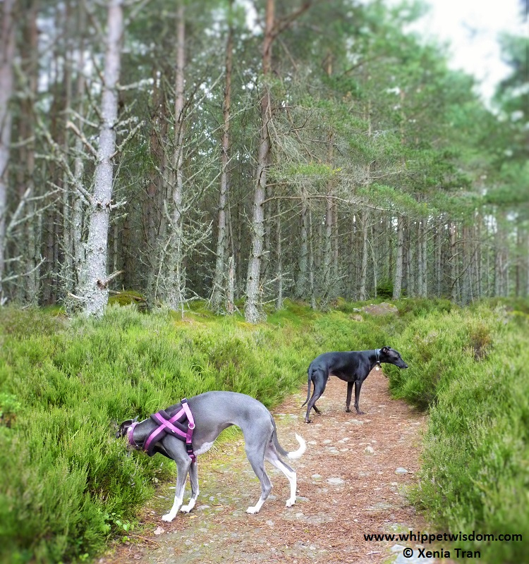 black whippet and blue whippet on forest path.