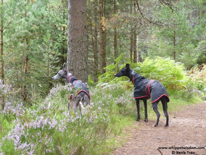 two whippets in mountain forest.