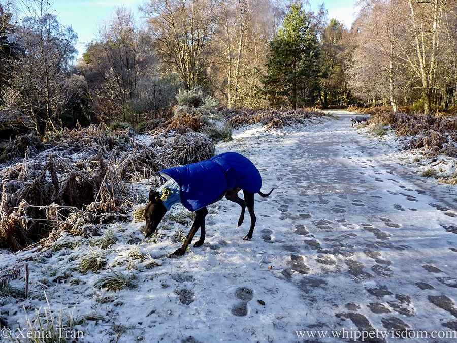 a black whippet in a blue winter coat on a frozen forest trail