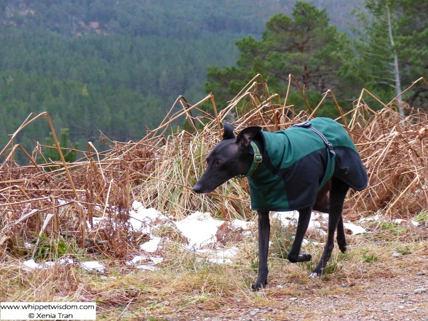 black whippet in green coat on snowy mountain trail