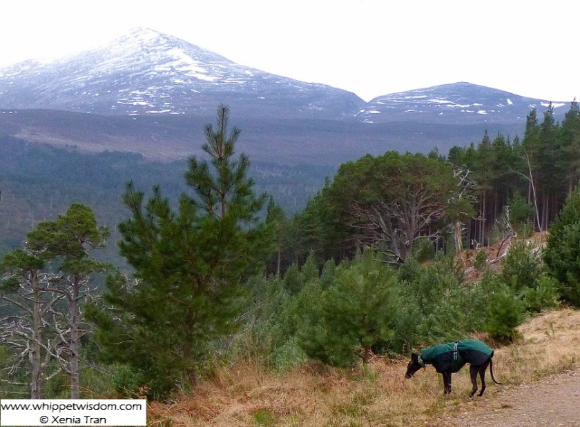 black whippet in green coat on mountain trail