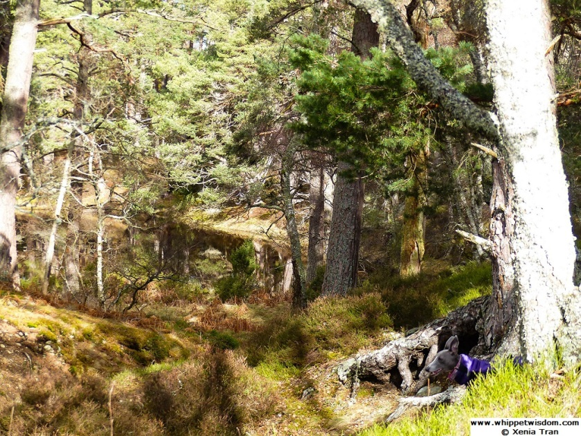 blue whippet in purple coat between tree roots at shore of Lochan Mor
