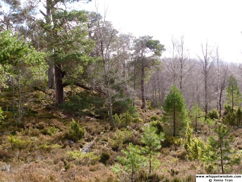 dense forest and heather around Lochan Mor