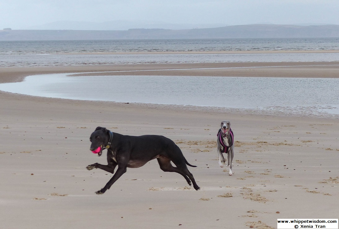 two whippets running on the beach with rain coming down across the firth.