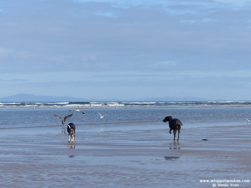 two whippets in black coats on the beach with seagulls and mountains in background