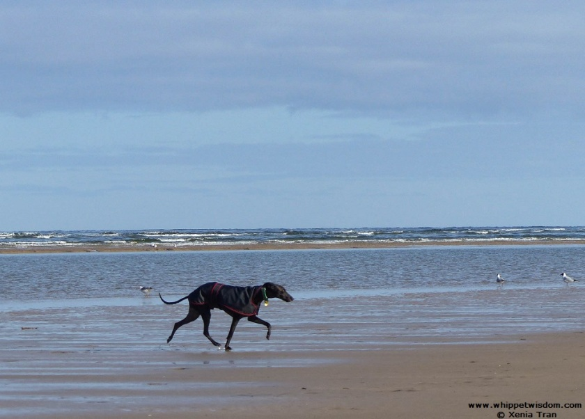 black whippet in black coats on the beach with seagulls