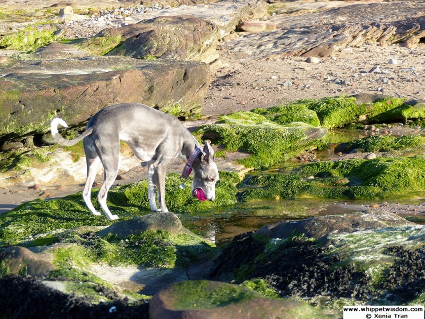 blue whippet with pink ball leaning over a rock pool