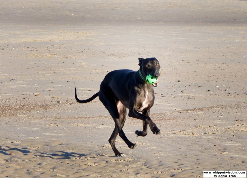 black whippet with green ball leaping across the beach