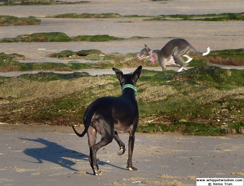 Two whippets playing between seaweed covered rocks at low tide