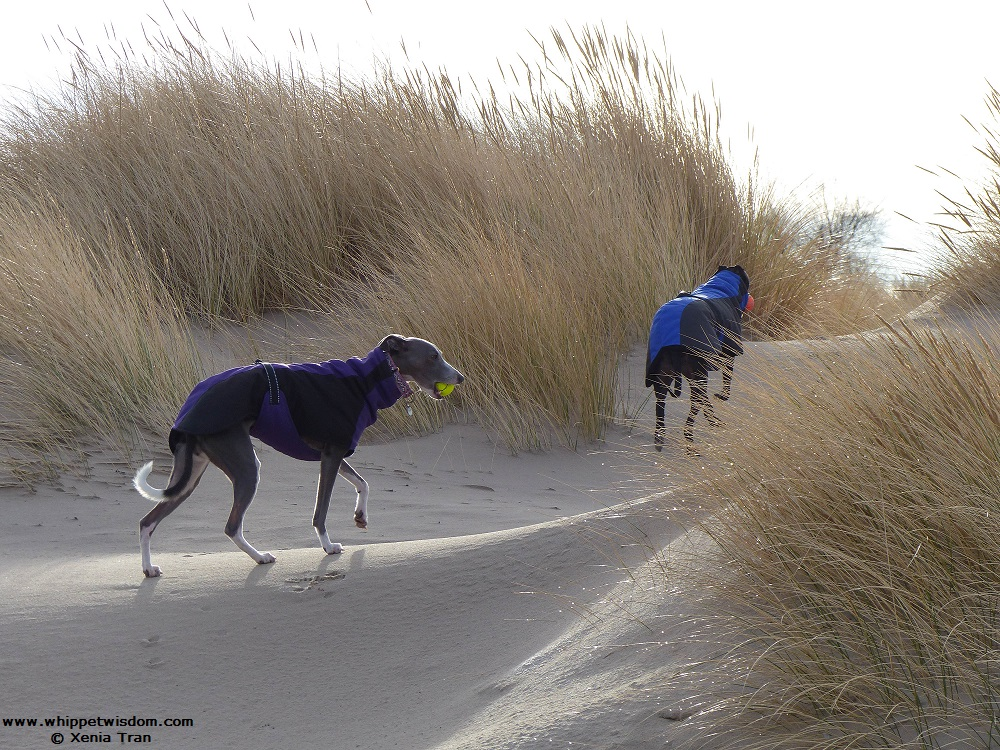 two whippets in coats walking through the dunes with balls in their mouth