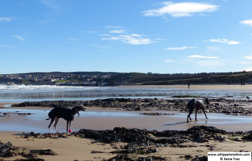 Two whippets on beach by Seatown at Cullen