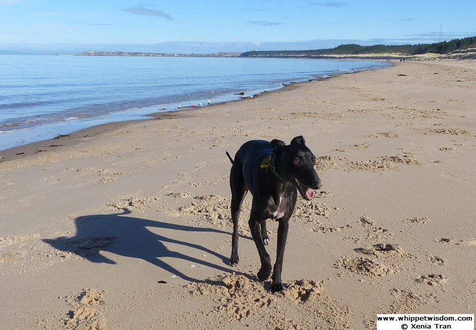 black whippet on the beach in morning sun