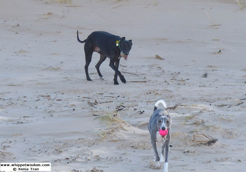 two whippets with balls in their mouths on the beach