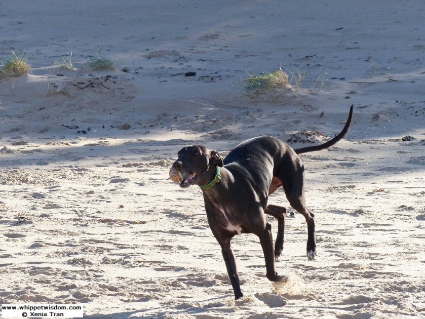 black whippet running on the beach with a ball