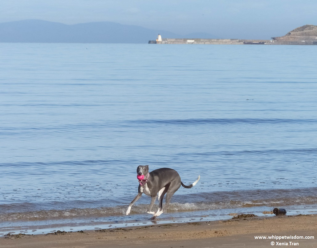 blue whippet with a pink ball on the beach in morning sun