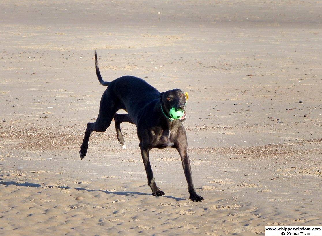 black whippet with a green ball running on the beach