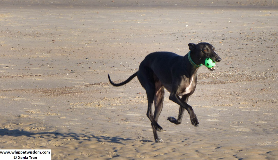 black whippet running with a green ball on tidal sands