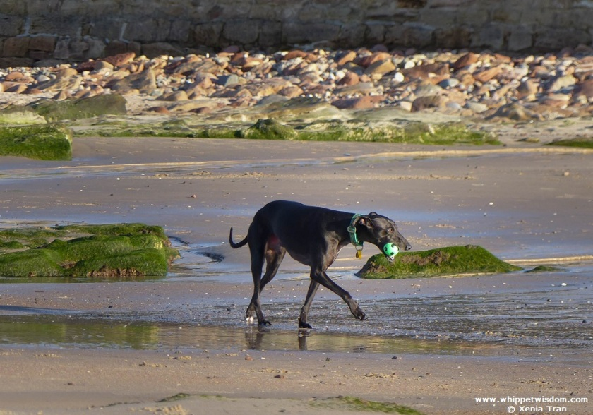 Black whippet with a green ball walking on beach at low tide