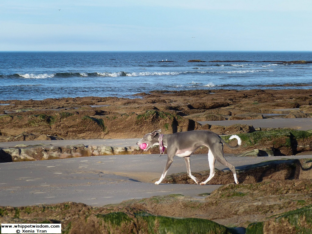 blue whippet with a pink ball walking across tidal sands and outcrops