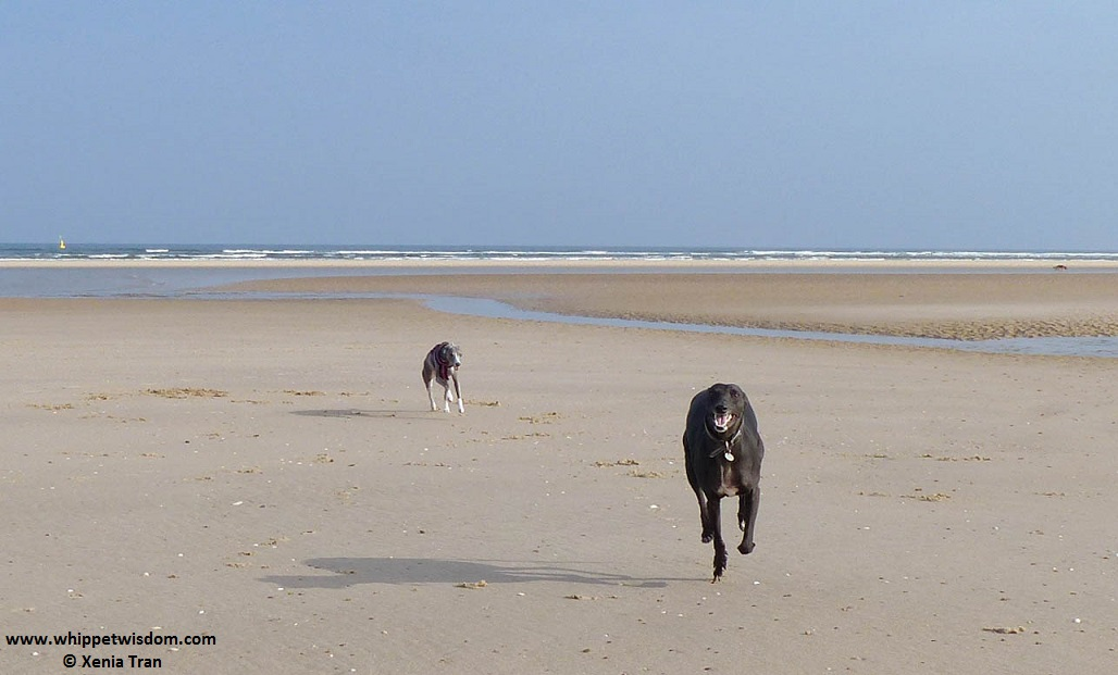 two whippets running on an empty beach