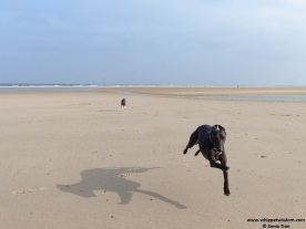 black whippet flying across an empty beach with a blue whippet in tow