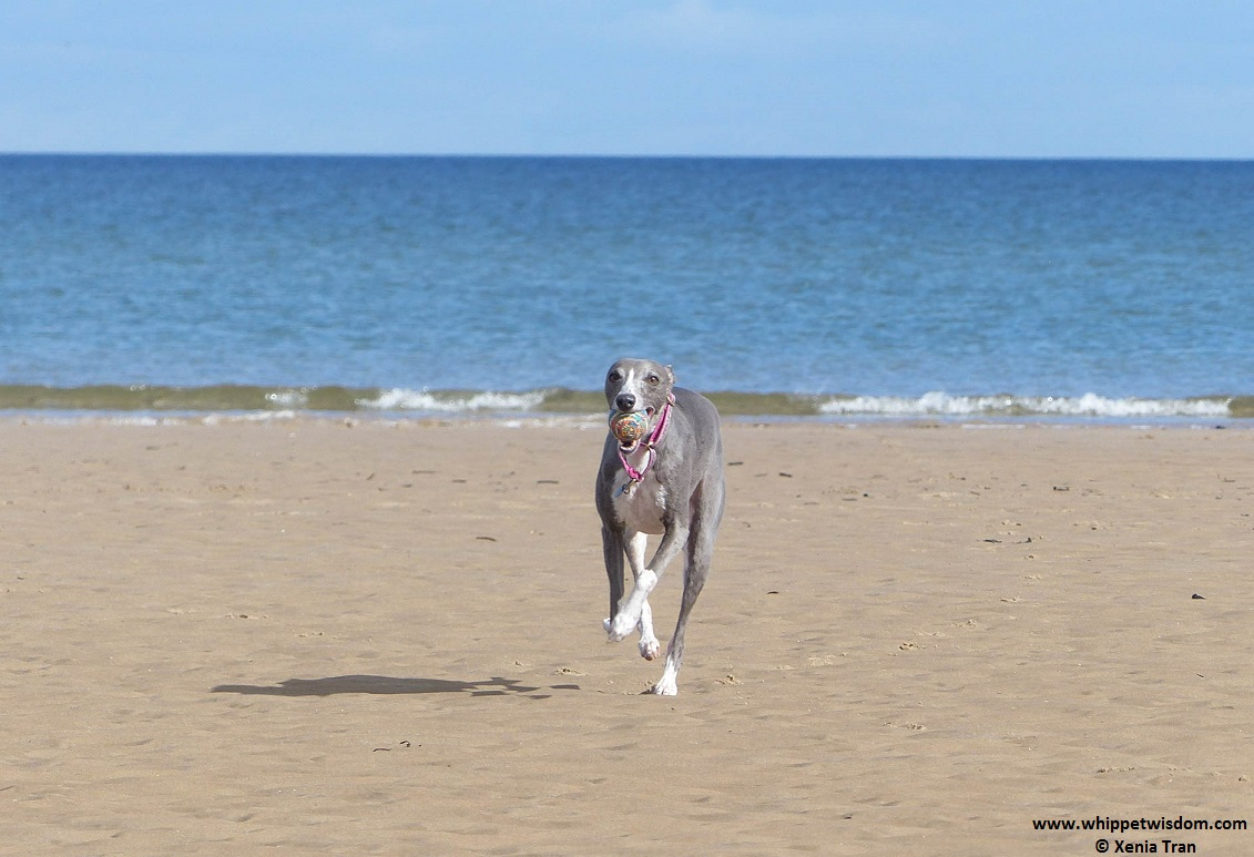blue whippet running on the beach with a ball