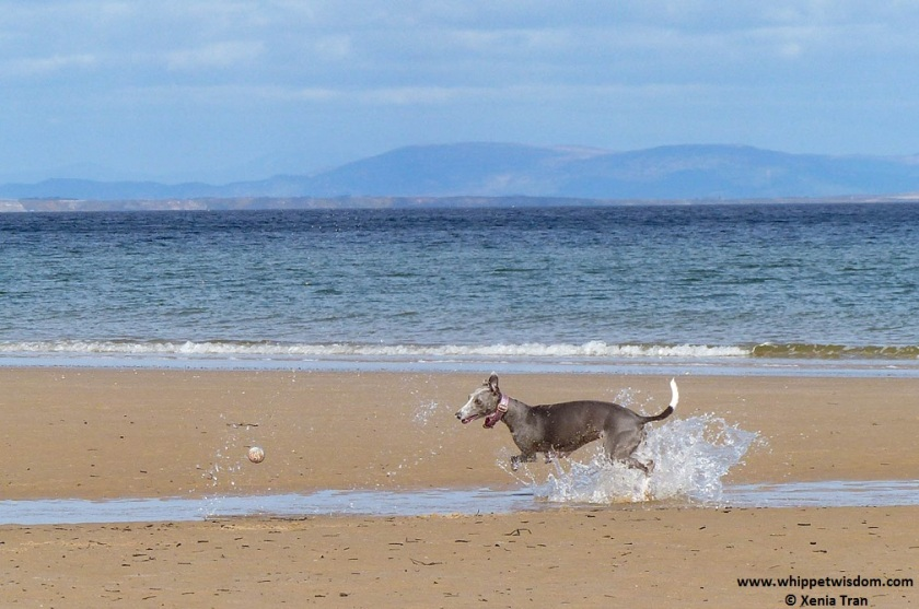 Blue whippet chasing a ball on the beach