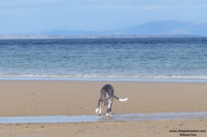 Blue whippet catching a ball on the beach
