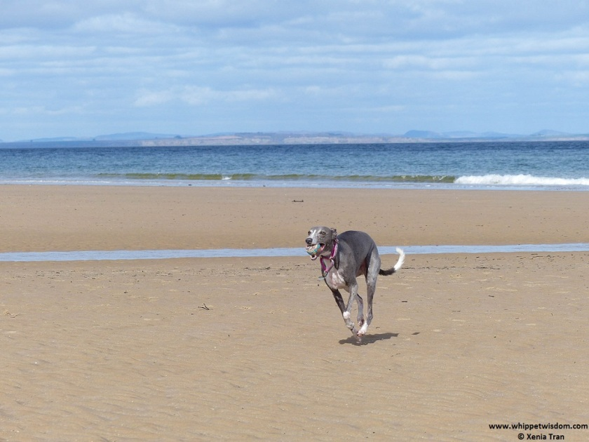 Blue whippet running with a ball on the beach