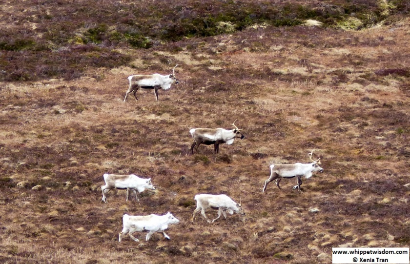 herd of reindeer in the cairngorms