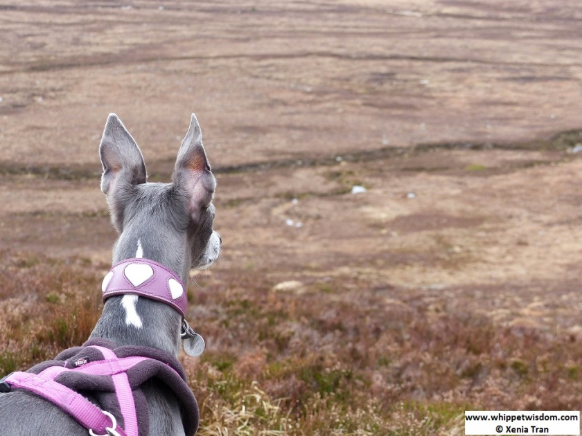 blue whippet watching herd of reindeer in the cairngorms