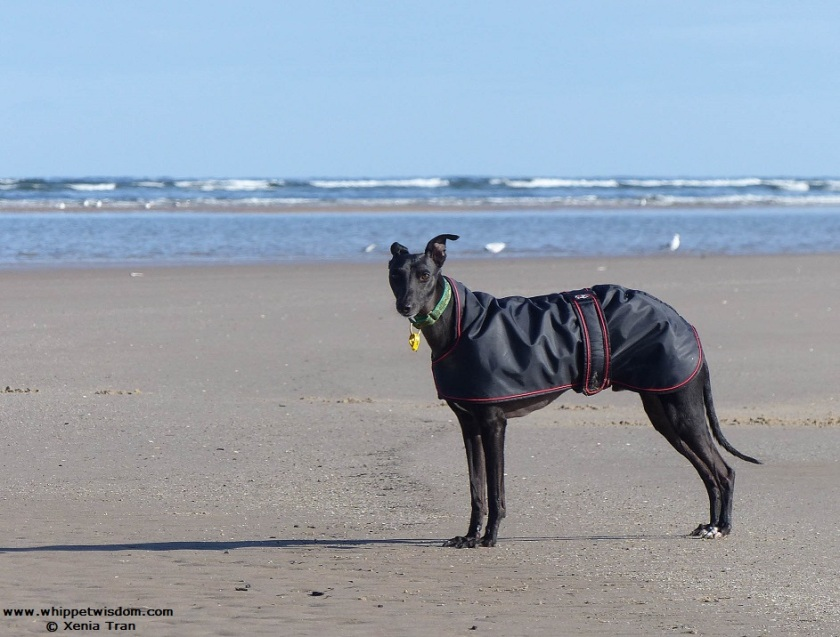black whippet in a black coat on the beach