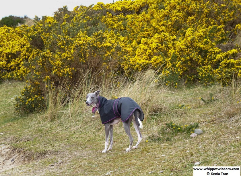 blue whippet in a black coat in the dunes