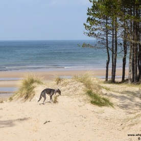 blue whippet sniffing among bent grass in the dunes